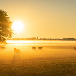Sheeps in the mist