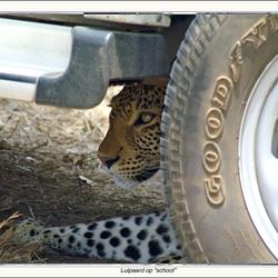 Luipaard op schoot
