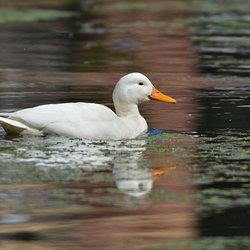 White Duck.