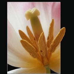 hart van een tulp 2
