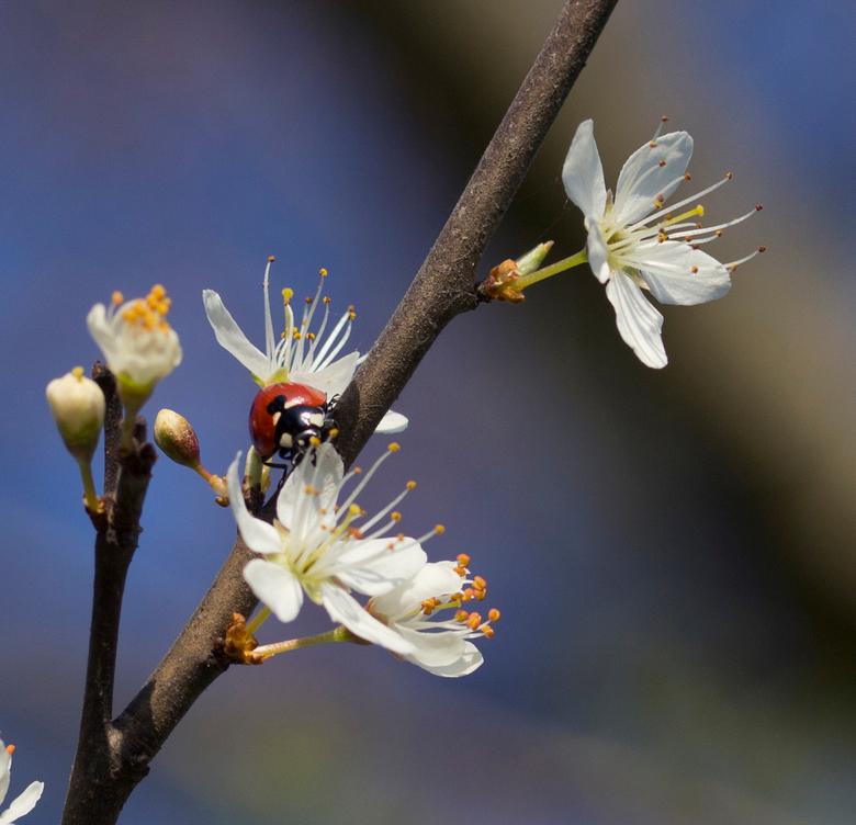 Lieveheersbeestje in de bloesem - Vandaag lekker gewandeld en onderweg foto´s gemaakt.<br /> <br /> Heerlijk die bloesem overal!
