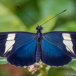 Kleine passiebloemvlinder Heliconius Sara