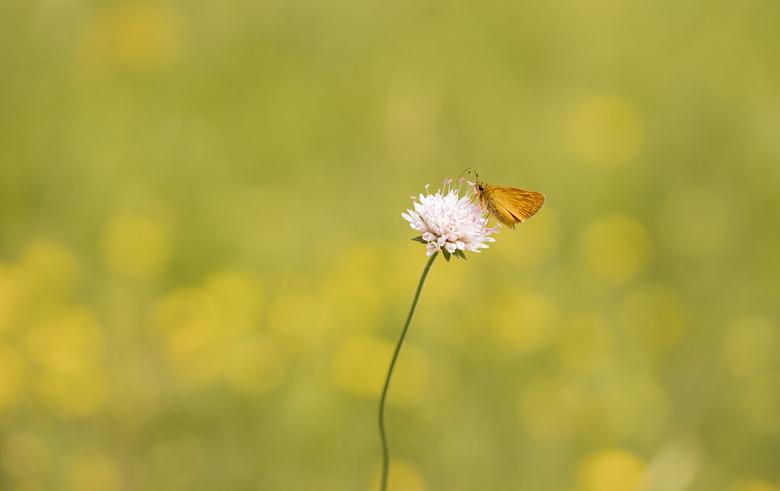 Groot en toch zo klein.... - Groot dikkopje in een weids veld. Een algemeen voorkomend dikkopje maar door zijn grootte niet even opvallend. Kenmerkend