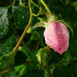 roosje na regen