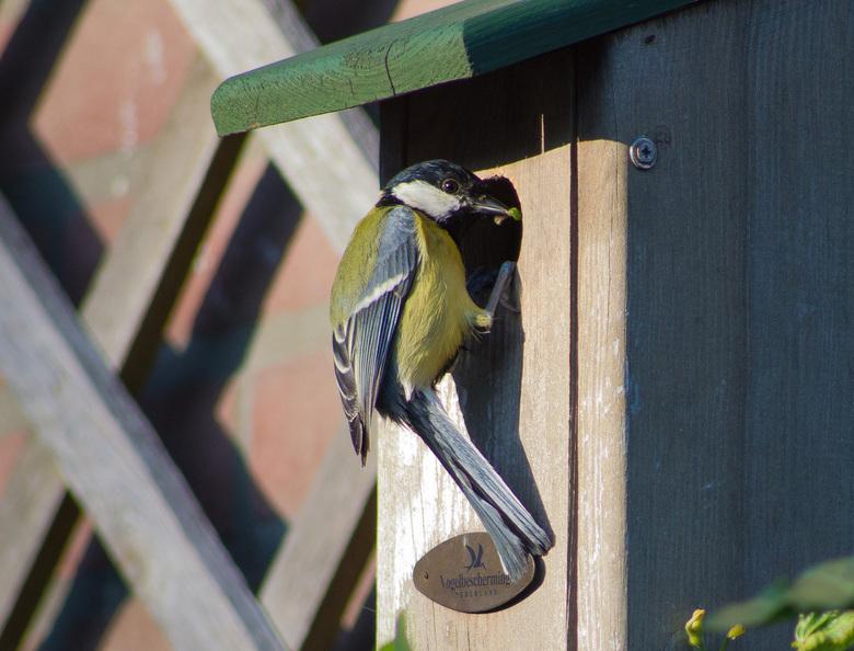 Nest koolmeesjes in de tuin - Niet allen leuk om naar te kijken maar ook om naar te luisteren! Wat kunnen die kleintjes piepen!.