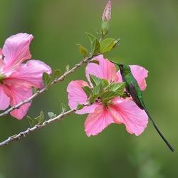 Kolibri in urubamba