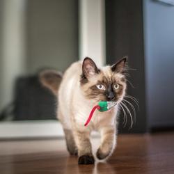 Kitten Sigi