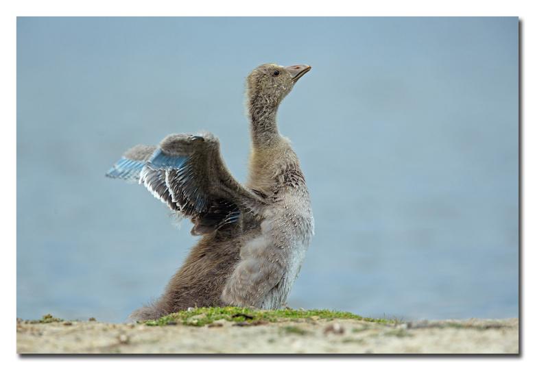 Jonkie grauwe gans   - Kijk wat ik al kan!<br /> <br /> Effies in het groot bekijken!<br /> <br /> Heel erg bedankt voor de fijne reacties bij de