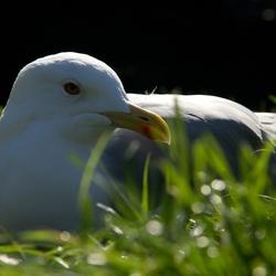 Lazy seagul