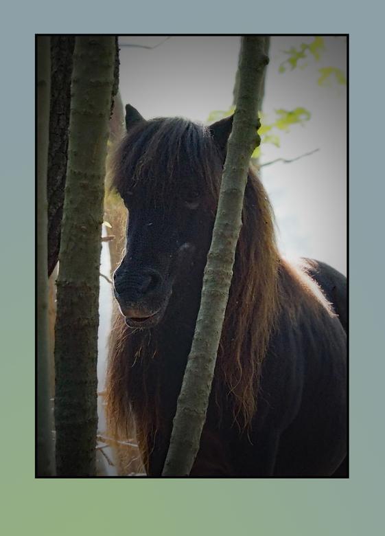 Staart was van....is het van de staart - Vandaag bij het duin stonden er verwilderde Dartmoor pony's die vaak in gezelschap van de Konicks door h