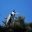 Reiger op nest (10)