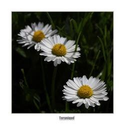 Triple Daisy