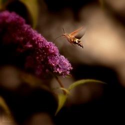 hummingbird, colibri vlinder