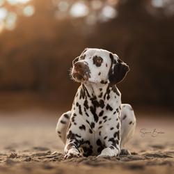 Dalmatiër tijdens ondergaande zon