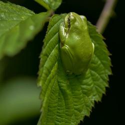 Groene boomkikker.