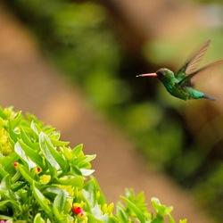 kolibrie hangend in de lucht