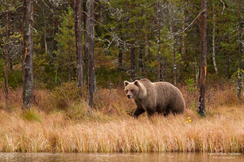 Wilde bruine beer - Een wilde bruine beer in Finland.