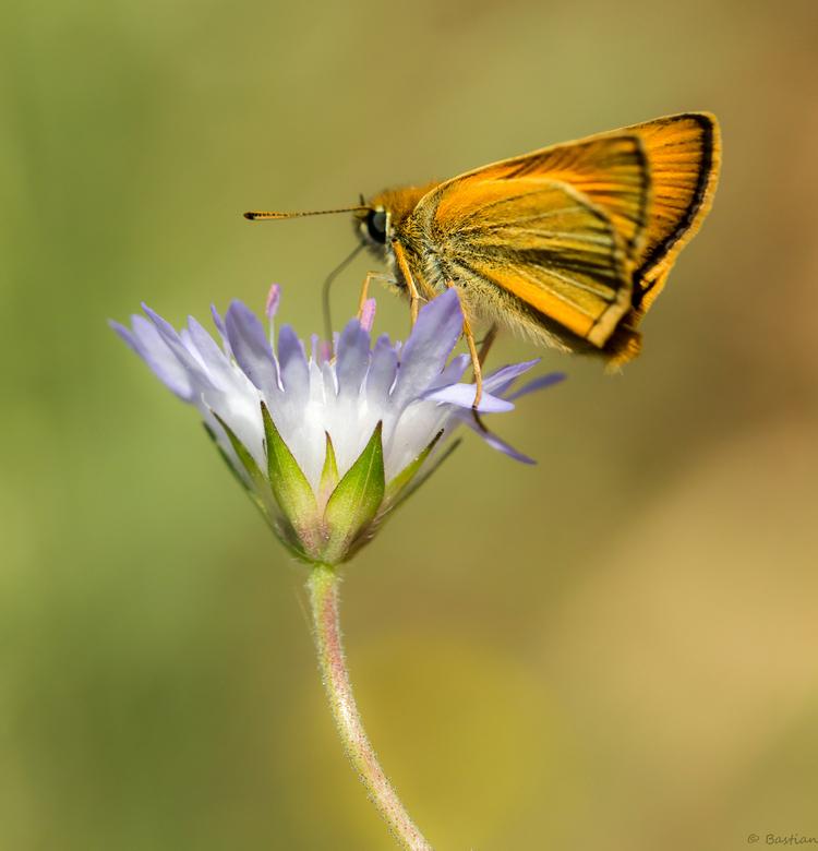 Dikkopje-2 - Ook veel dikkopjes te vinden op Corfu. Bedankt voor de reacties op mijn vorige upload Glow bug. Fijne dag!