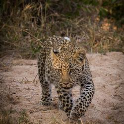Jong luipaard