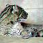 Fishingcat [Prionailurus Viverrinus] Blijdorp Zoo Rotterdam 3D