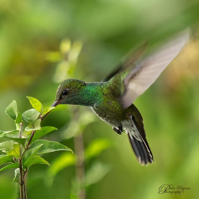 Kolibrie  - Nog een oudere opname van een kolibrie.<br /> Iedereen een fijn zonnig weekend!<br /> <br /> Gr<br /> <br /> Peter