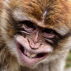 Het lachende aapje...