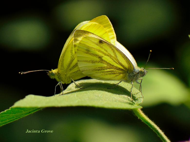 Vlinderpaartje - Witje