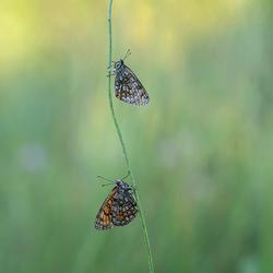 twee parelmoervlinders onder de dauw Zoom
