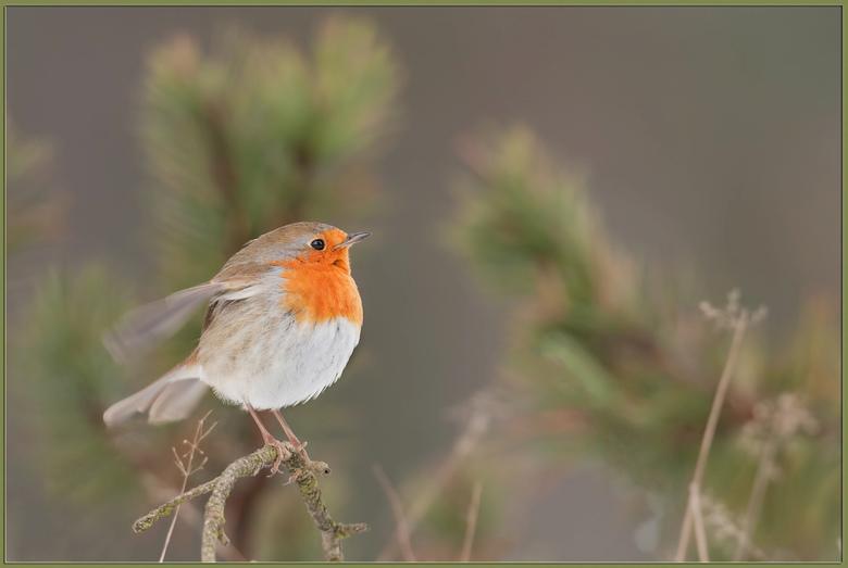 Falpping to stay warm - tijdens een bezoek aan het Nationaal park De Hoge Veluwe vorig jaar, zat dit Roodborstje zich goed te doen aan wat beweging, m