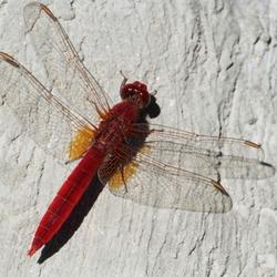 een libelle