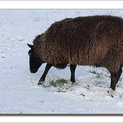 Winterschaap.