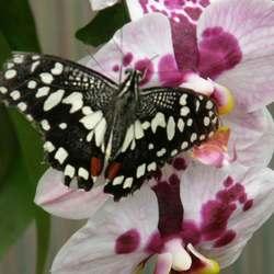 Orchideevlinder?