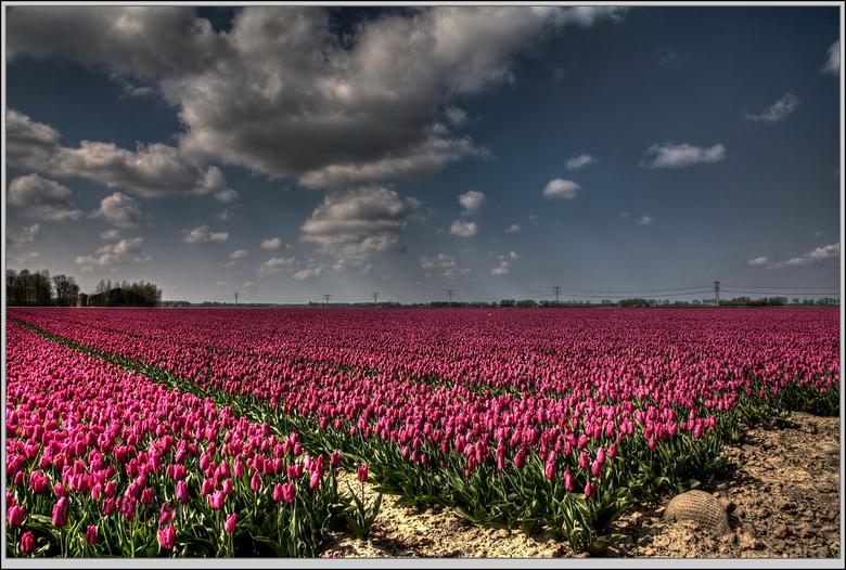 tulpenvelden  - een van de nu al bloeiende velden in de Noordoostpolder, veel velden beginnen nog maar net te bloeien.