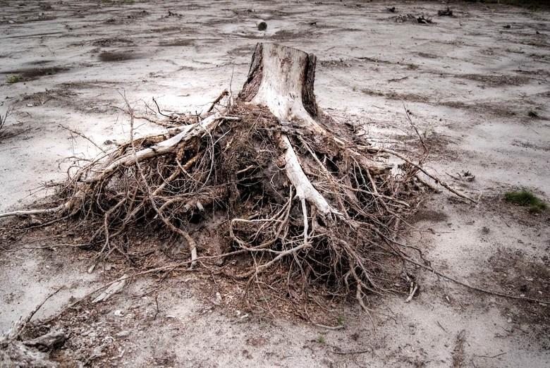 Stronk - HDR, boomstronk in een zandvlakte, midden in het bos bij Amerfoort.