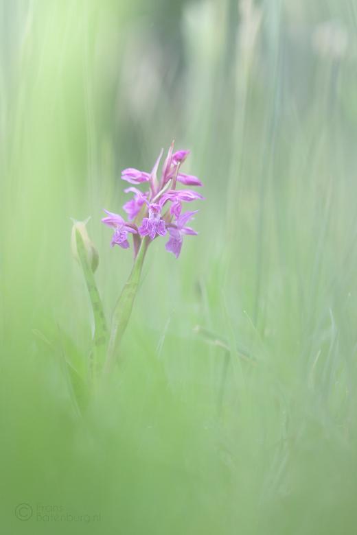 Rietorchis - Rietorchis tussen het hoge gras geprobeerd te fotograferen . Viel niet om ze behoorlijk in beeld te krijgen . Gebruik gemaakt van het hog