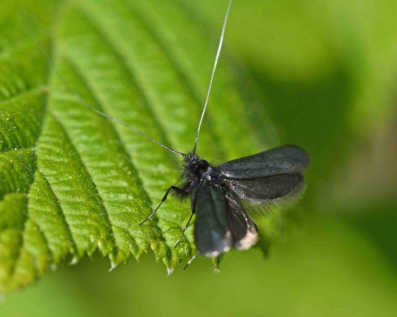 micro - De meeste micro-vlinders zijn nacht actief. De smaragdlangsprietmotten (Adela reaumurella) fladderen vroeg in het voorjaar rond op een zonnige