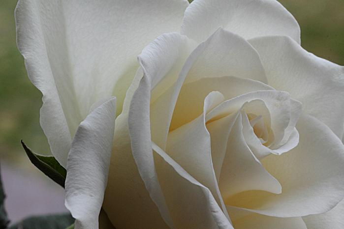 Witte Roos - Roos gefotografeerd met een EOS 50D, Tamron SP AF90 mm f2.8 + EF12II + EF25II extensiontubes.