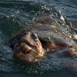 Schildpad Kefalonia