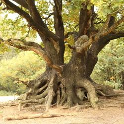 Old tree Mandefjild, Bakkeveen