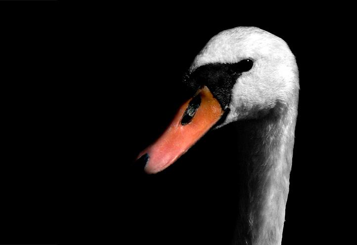 Elegance - Een zeer vrijmoedige zoetermeerse zwaan.<br /> <br /> Deze foto heb ik bij het Noord Aa genomen, een recreatiegebied met een groot meer.<