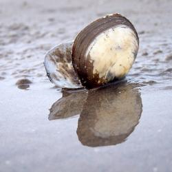 Shell on wet sand / Schelp op nat zand.