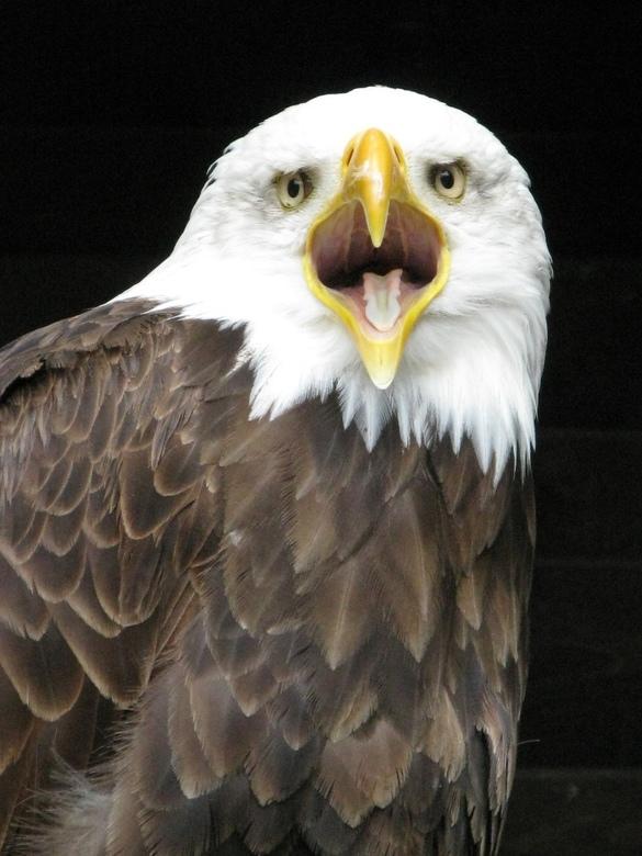 Zeearend - Amerikaanse Zeearend in http://www.wildgehege-hellenthal.de/<br />