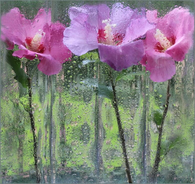 HIBISCUS  2 - Ook van de Hibiscus een foto achter glas gemaakt.