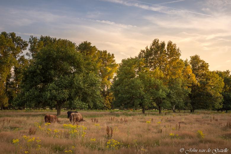 Hooglanders in de Schinveldsebossen - Deze opname heb ik tijdens het goudenuurtje voor zonsondergang in de Schinveldsebossen gemaakt.<br /> <br /> E