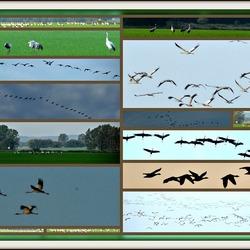 Kraanvogels in Luckau
