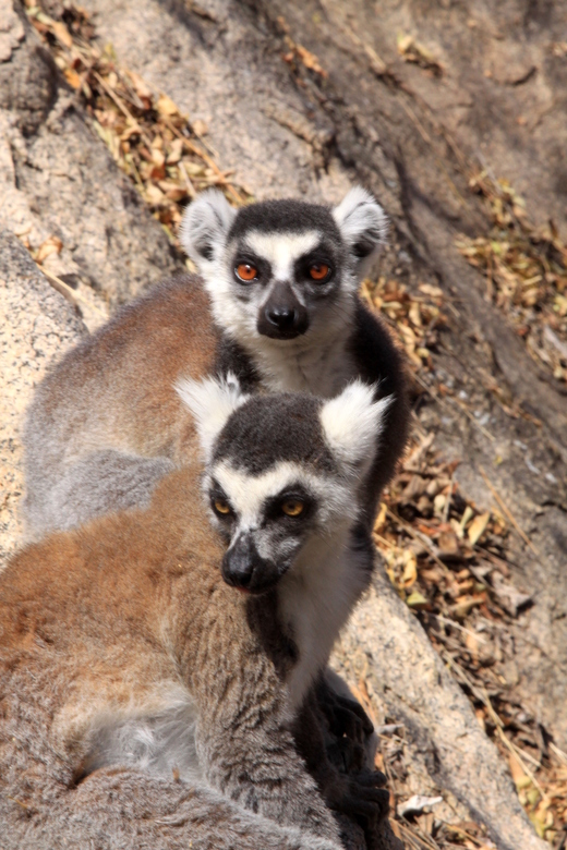 Ringstaartmaki - Ringstaartmaki. Wildlife Madagaskar. <br />