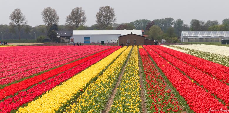 De tulpenvelden