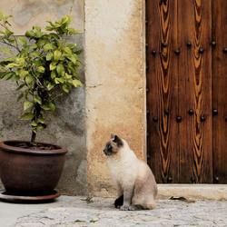 Montenegro cat
