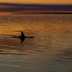 Onze Nederlandse Orka MORGAN gespot op lauwersoog