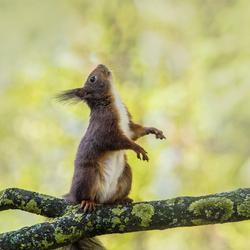 Staand eekhoorntje